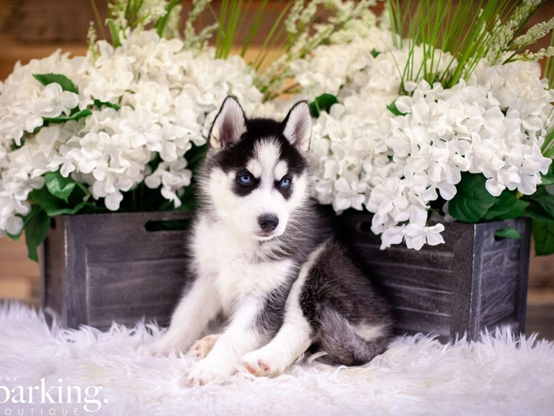 Siberian Husky-Female-Black / White-2474060-The Barking Boutique