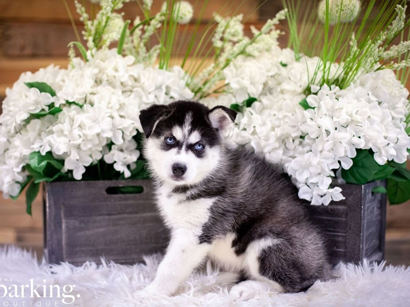 Siberian Husky-Male-Black / White-2474062-The Barking Boutique