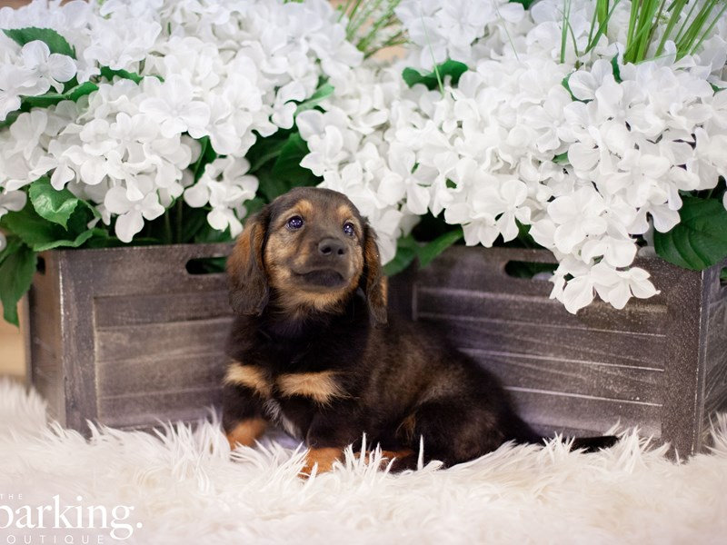 Dachshund-Male-Black / Tan-2474063-The Barking Boutique