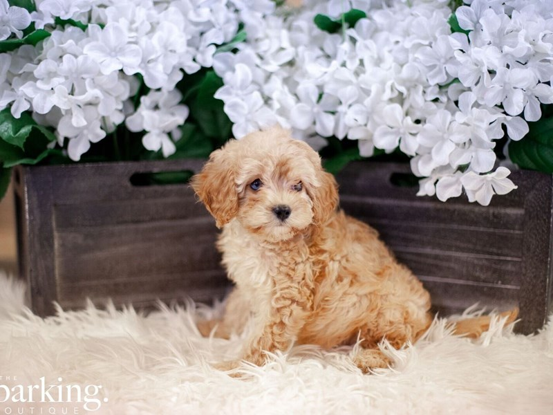 Cavapoo-Male-Tan-2474249-The Barking Boutique