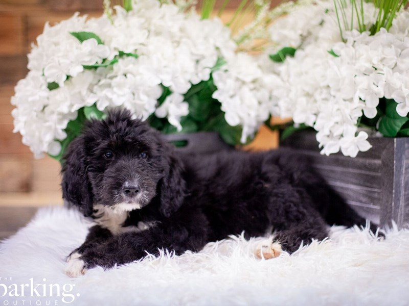 Bernedoodle-Male-Black and white-2471764-The Barking Boutique