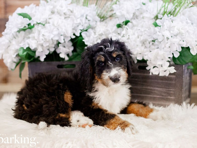 Bernadoodle-Female-Tri color-2471789-The Barking Boutique