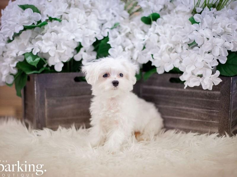 Maltese-Male-White-2471862-The Barking Boutique