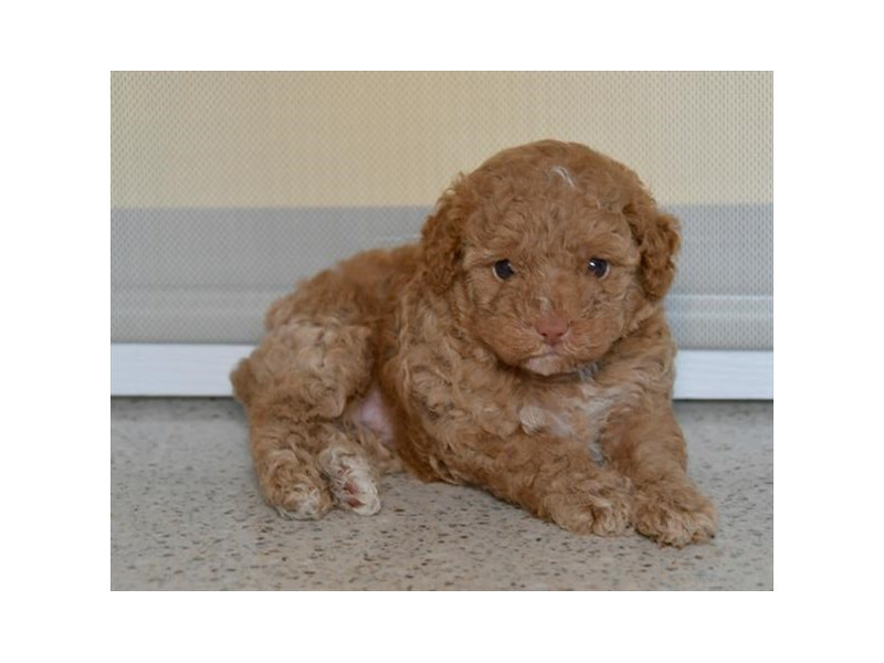 Poodle-Female-Apricot-2494238-The Barking Boutique