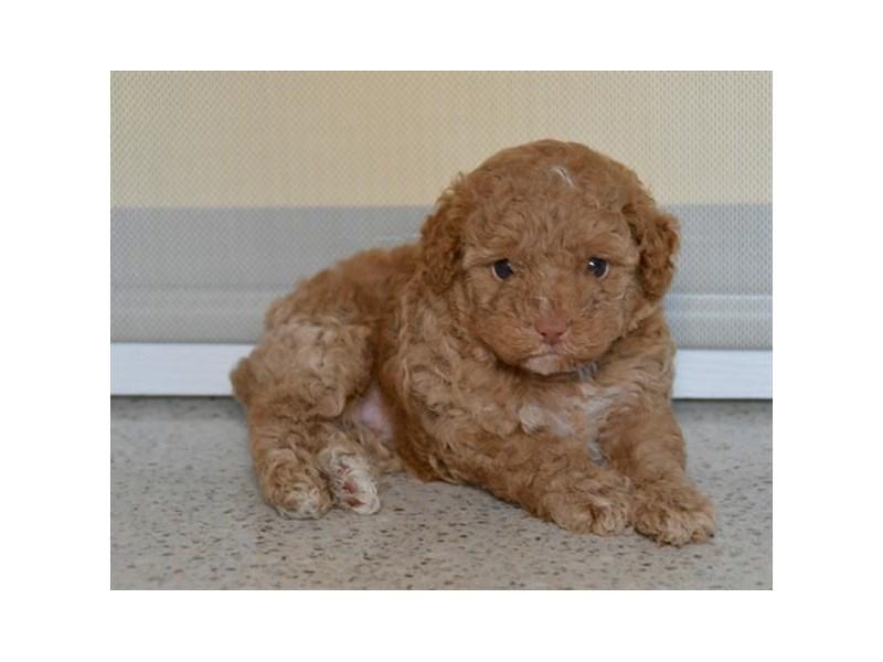 Poodle – Callie