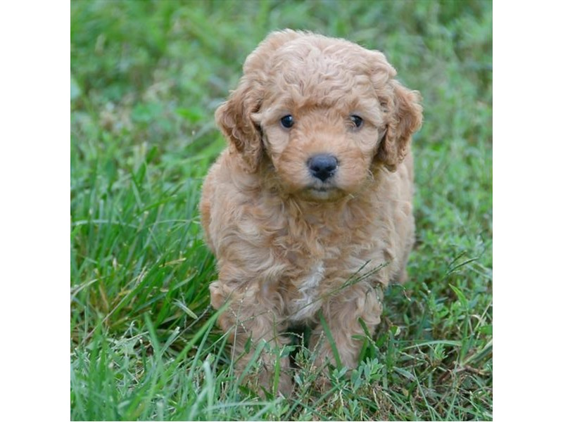 F1B Mini Goldendoodle-Female-Apricot-2494275-The Barking Boutique