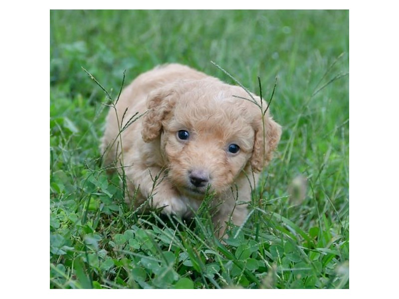 F1B Mini Goldendoodle-Male-Apricot-2494276-The Barking Boutique