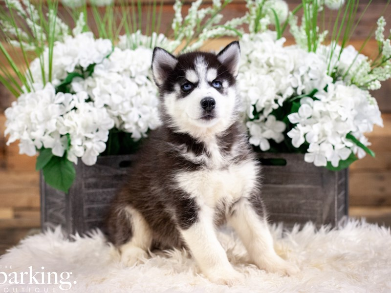 Siberian Husky-Male-Black / White-2494234-The Barking Boutique