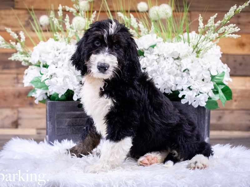 Bernadoodle-Male-Tri Color-2499774-The Barking Boutique