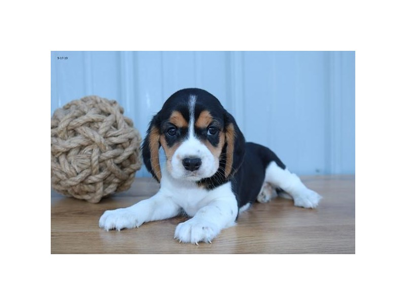 Cavalier King Charles Spaniel/Beagle-Male-Tri-Colored-2501169-The Barking Boutique