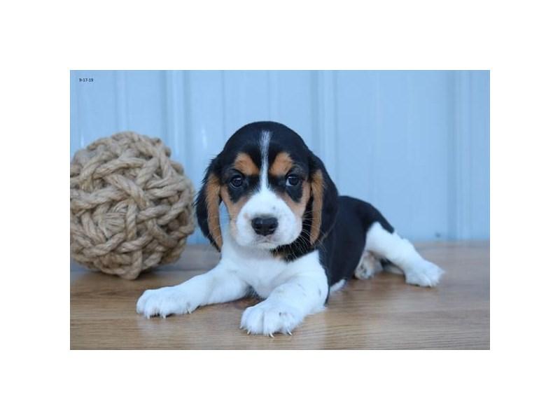 Cavalier King Charles Spaniel/Beagle