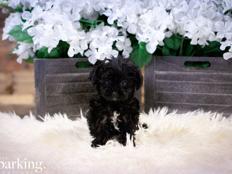 Yorkiepoo-Female-BLACK-2496995-The Barking Boutique