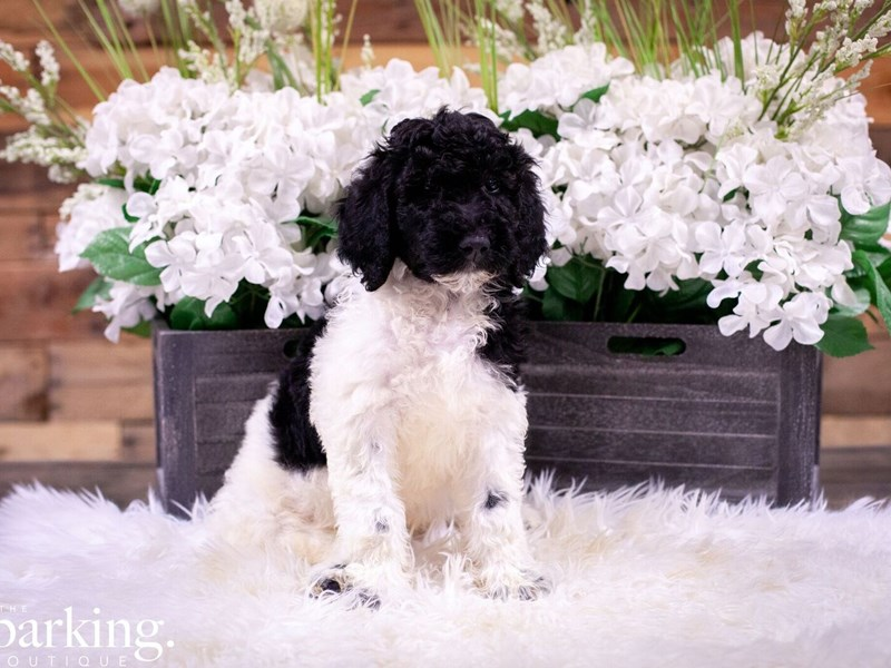Standard Poodle-Female-Black and White Parti-2496979-The Barking Boutique