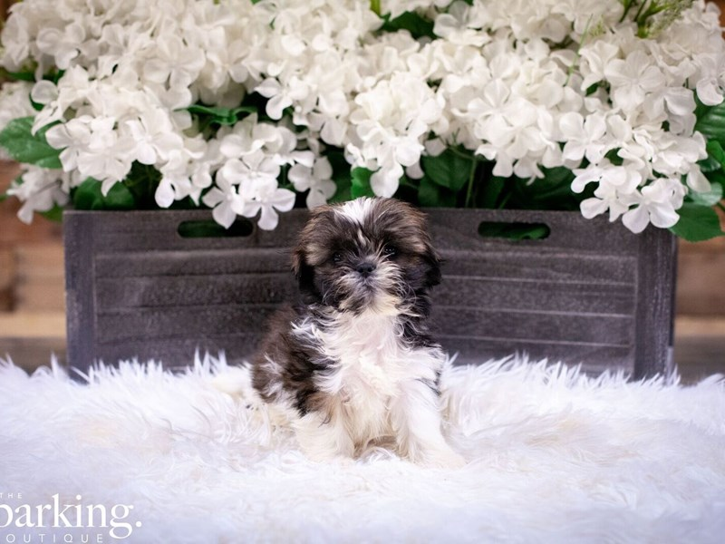 Shih Tzu-Female-Tri color party-2496969-The Barking Boutique