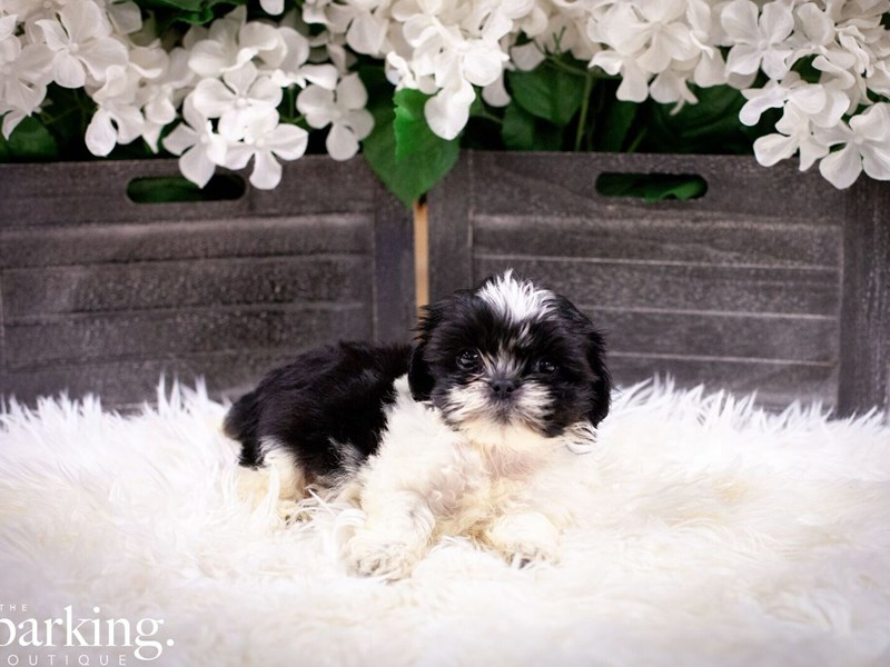 Shih Tzu-Male-Black and White-2496967-The Barking Boutique