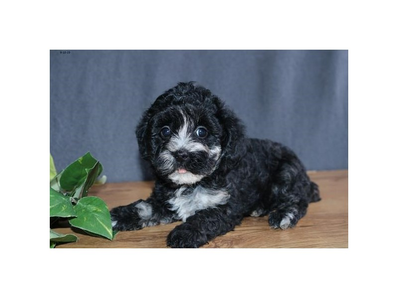 F1b Cockapoo-Female-Black-2461723-The Barking Boutique