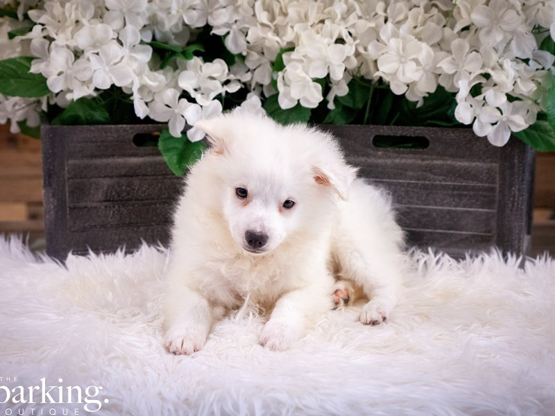 American Eskimo Dog-Male-White-2461732-The Barking Boutique