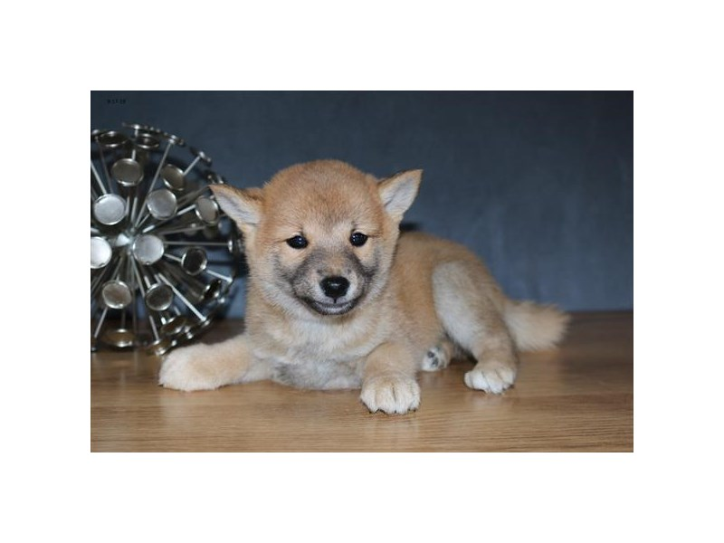 Shiba Inu-Male-Red-2467766-The Barking Boutique