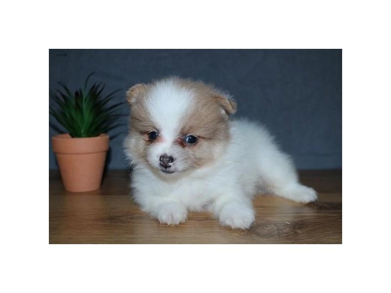 Pomeranian – Apollo