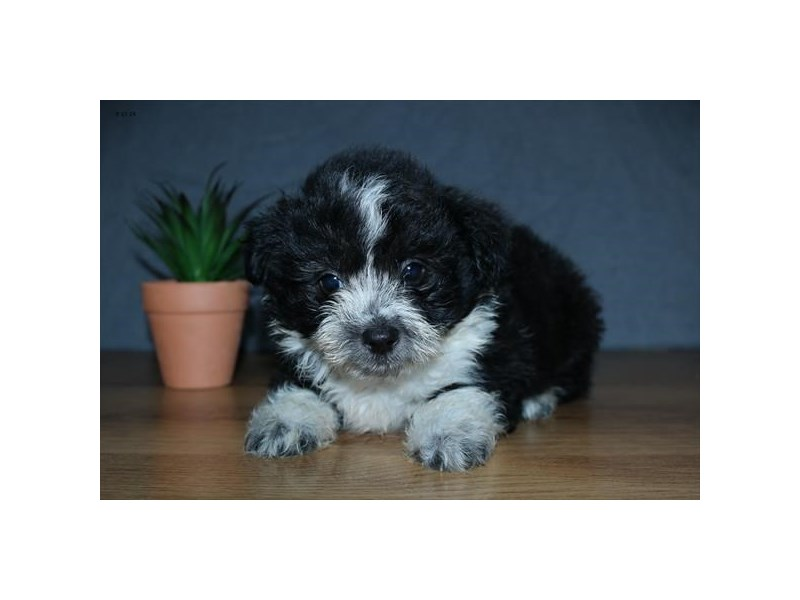 Aussiepoo-Male-Black / White-2474253-The Barking Boutique