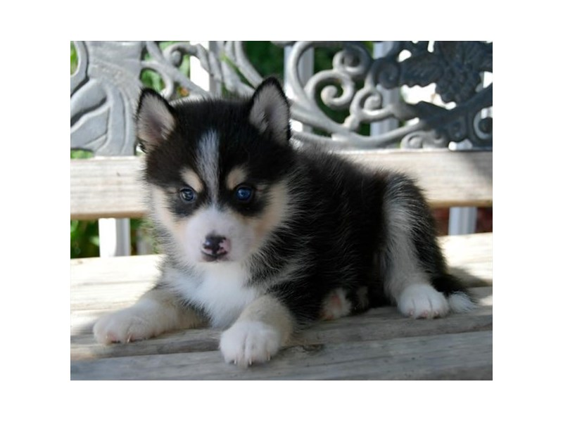 Pomsky-Female-Black / Tan-2494236-The Barking Boutique