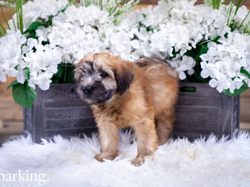 Soft Coated Wheaten Terrier – Clementine