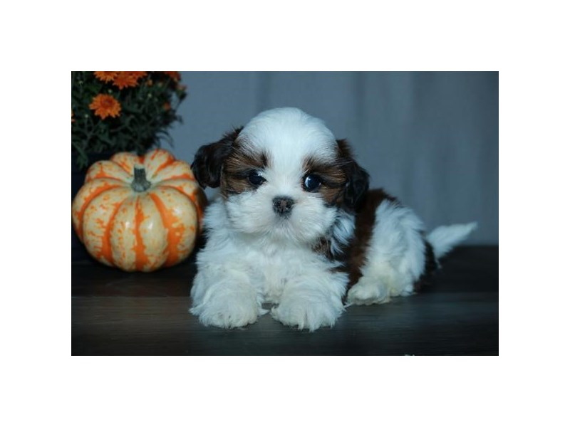 Shih Tzu-Female-Sable / White-2501136-The Barking Boutique