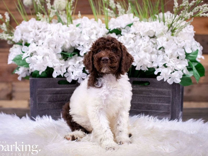 Standard Poodle-Male-Chocolate and White Parti-2496973-The Barking Boutique