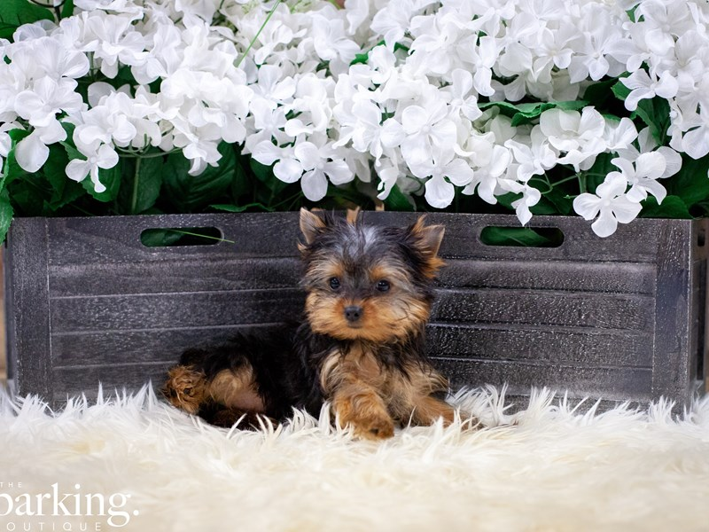 Yorkshire Terrier – Morticia