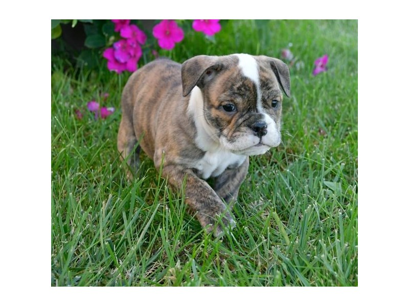 English Bulldog-Female-Brindle / White-2507358-The Barking Boutique