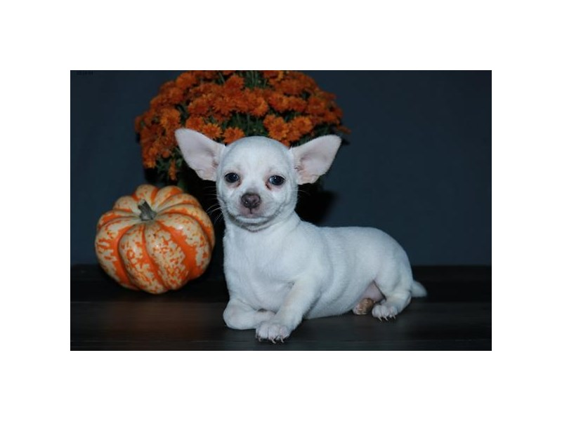 Chihuahua-Female-White-2507359-The Barking Boutique