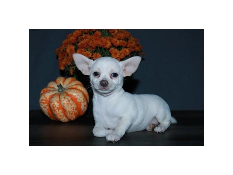 Chihuahua – Christine