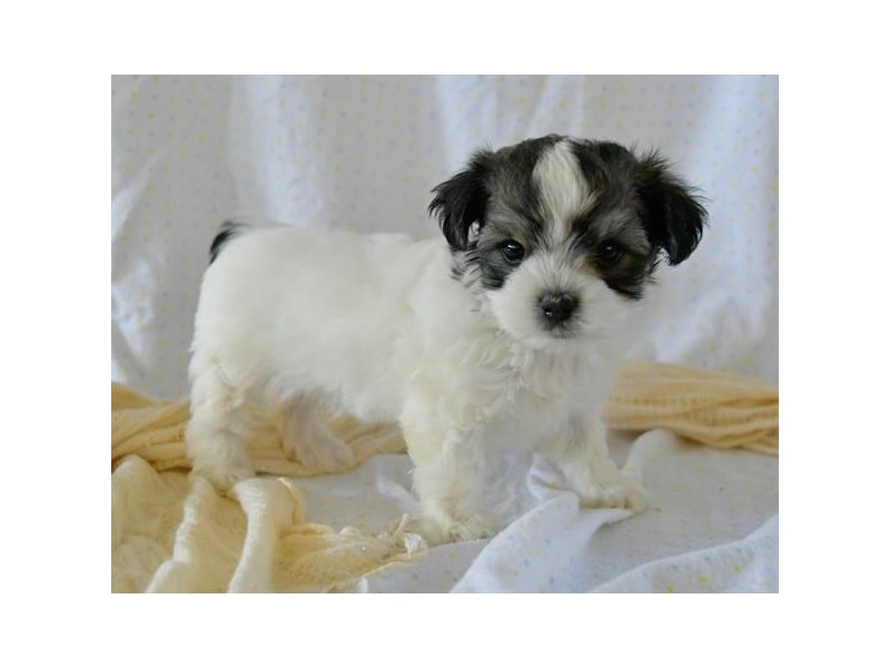 Morkie-Female-Black / White-2507360-The Barking Boutique