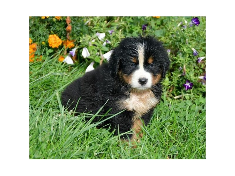 Bernese Mountain Dog-Female-Tri-Colored-2507534-The Barking Boutique