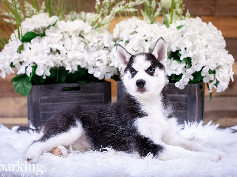 Siberian Husky-Female-Black / White-2494233-The Barking Boutique