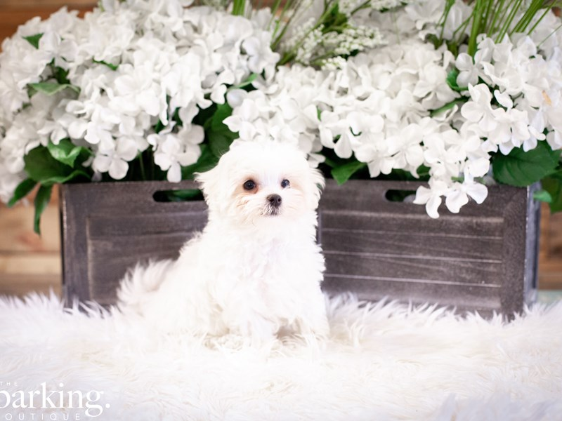 Maltese-Male-white-2508368-The Barking Boutique