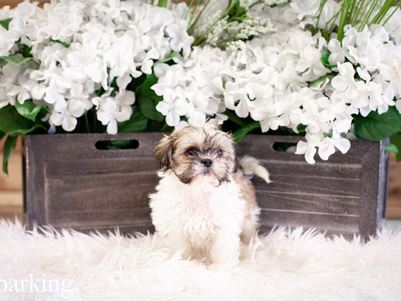 Shih Tzu-Female-Lavender party color-2508372-The Barking Boutique