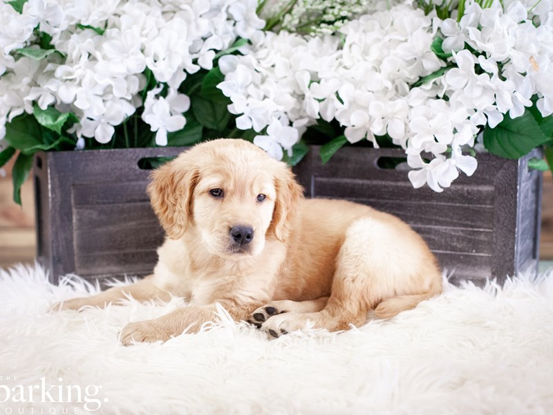 Golden Retriever-Male-Dark Golden-2508374-The Barking Boutique