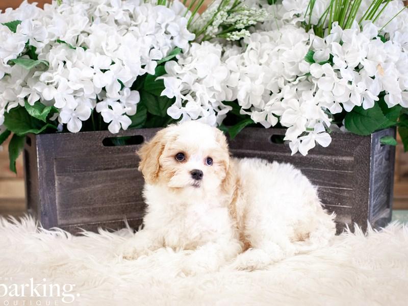 Cavachon-Male-White-2507538-The Barking Boutique
