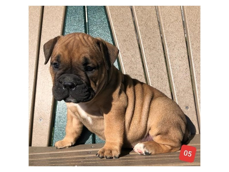 Olde English Bulldog-Female-Fawn-2514458-The Barking Boutique