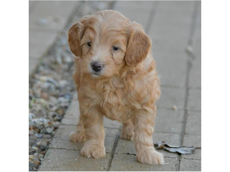 F1B Mini Goldendoodle-Female-Red-2514555-The Barking Boutique