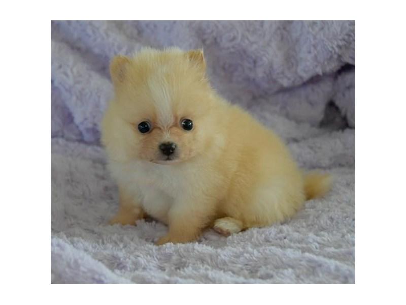 Pomeranian – Dove