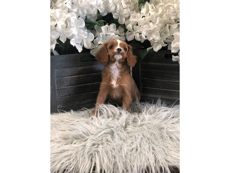 F1b Cavapoo-Female-red-2518519-The Barking Boutique