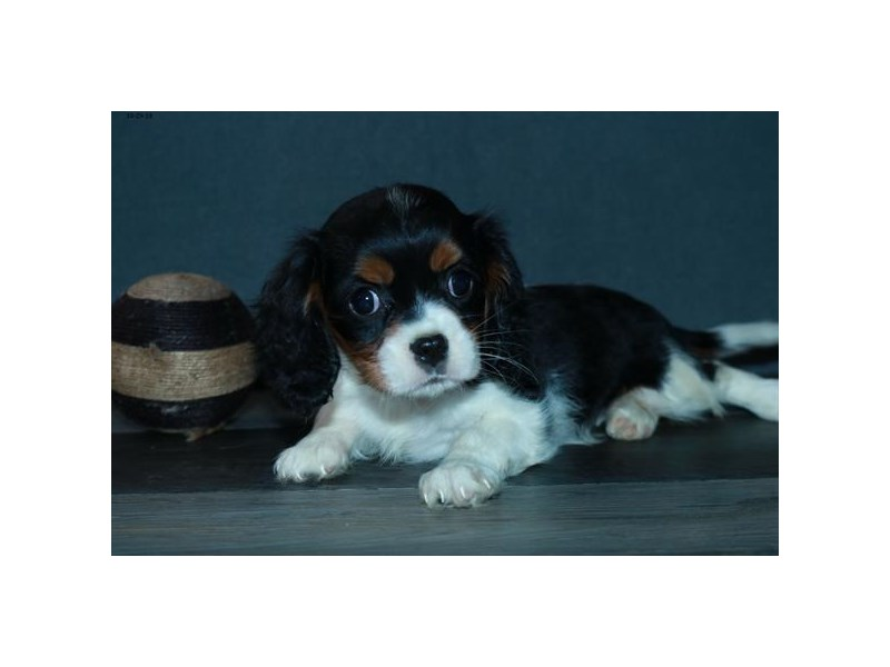 Cavalier King Charles Spaniel-Female-Tri-Colored-2521345-The Barking Boutique