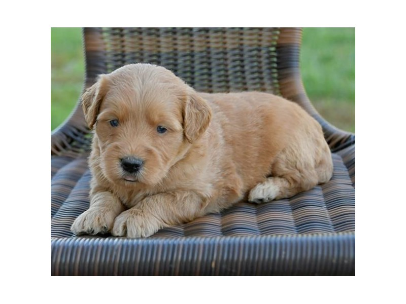 Mini Goldendoodle-Female-Golden-2521431-The Barking Boutique