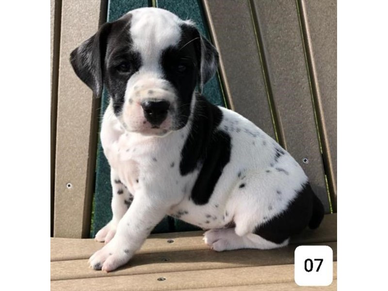 Bullmatian-Male-Black / White-2521452-The Barking Boutique