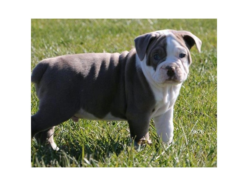 Olde English Bulldog-Male-Blue Fawn-2527814-The Barking Boutique