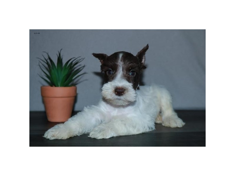 Miniature Schnauzer-Male-Chocolate / White-2527815-The Barking Boutique