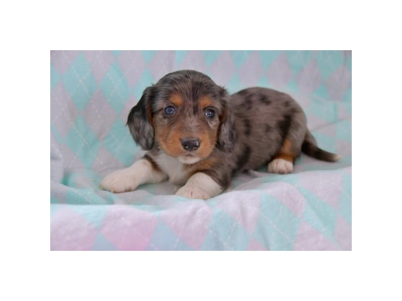 Dachshund-Male-Blue Merle-2527819-The Barking Boutique