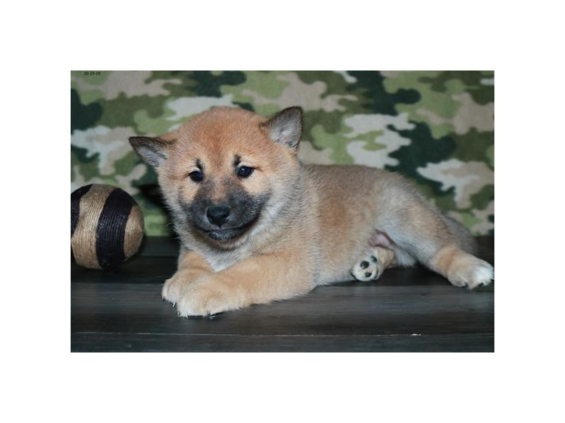 Shiba Inu-Male-Red-2527820-The Barking Boutique